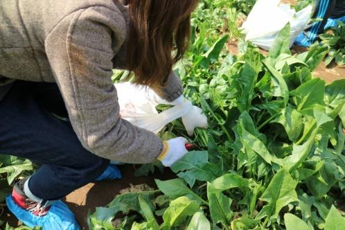 ザ ファームでは、年間を通じて何かの野菜を収穫できるようにしており、収穫体験では季節の野菜を収穫できます。採った野菜を生でかじってみたり、うまく抜けなかったり…。ちょっと変わった形の野菜にも愛着がわきます